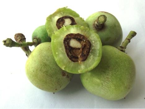 maula fruit